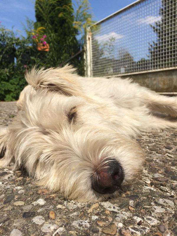 Terrier-Retriever-Mischling Fritz in der Sonne liegend