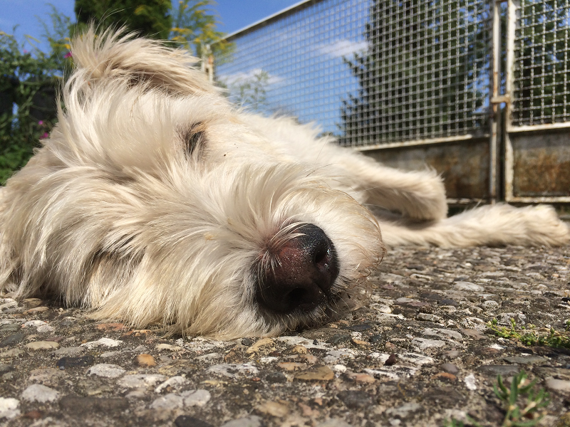 Retriever-Terriermischlingshund Fritz ruht sich in der Sonne aus