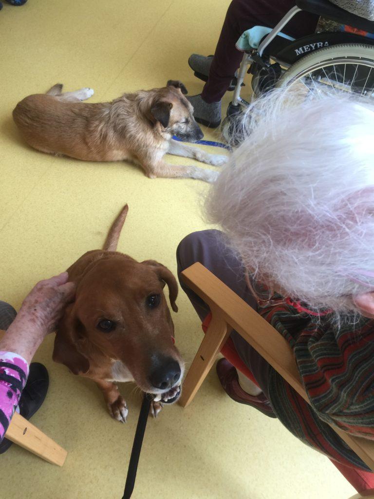 Therapiehunde Waggy-Joe und Diggles mit Damen in einem Pflegeheim