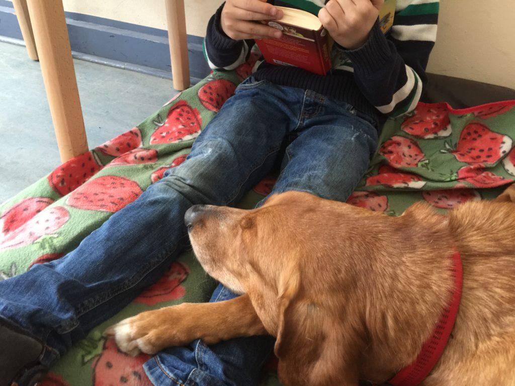 Lesepfoten Jagdhundmischling mit seinem rotbraunen Kopf auf den Beinen eines lesenden Kindes